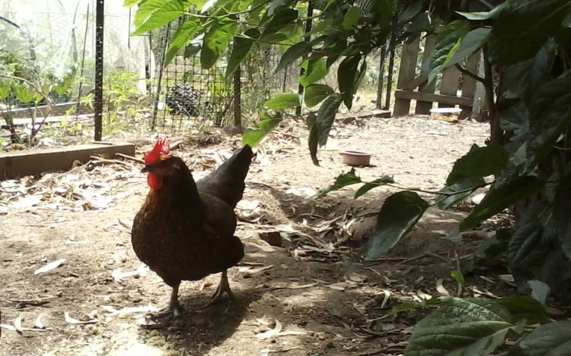 Priscilla, Queen of the chook yard is a happy hen and perhaps a lucky one, she spends her life doing what chooks do and laying eggs for me. Her counterpart in the commercial world has a less comfortable life entirely in a cage.