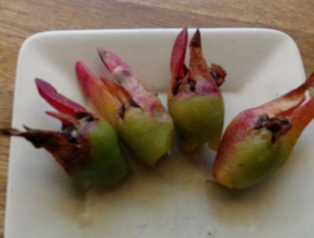 Pig Face Fruit. Pigface is a ground covering succulent that grows near the coast, it has showy pink to purple flowers.