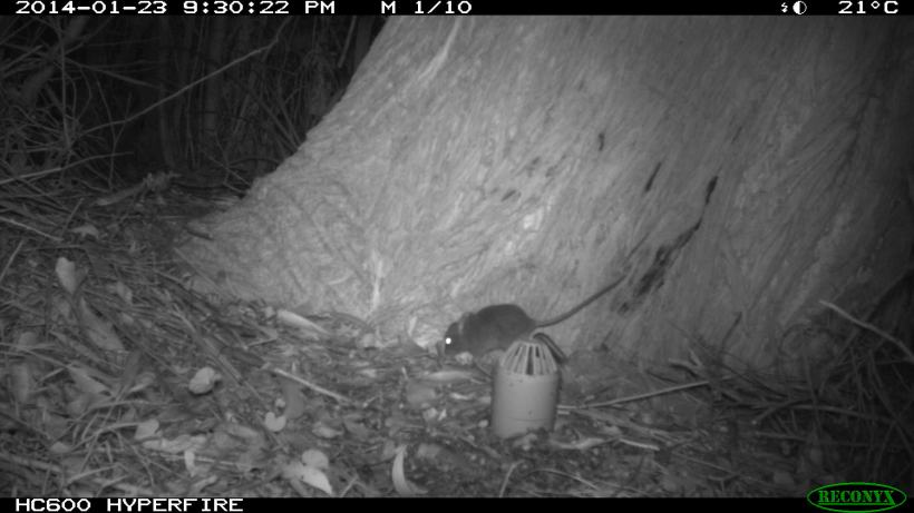 Antechinus exploring the peanut butter lure