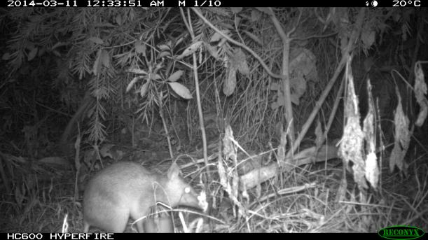 A bandicoot in the garden
