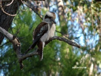 Kookaburra sitting in the old gum tree