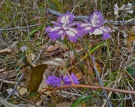 Fringe Lily near Wallaga Lake